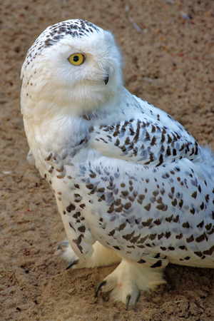 Snowy Owl (Bubo scandiacus) is a large owl of the typical owl family Strigidae. It was first classified in 1758 by Carolus Linnaeus.