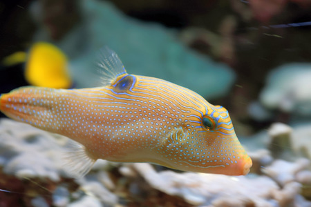 pufferfish: Canthigaster solandri is a ray-finned species of fish and member of the pufferfish family.