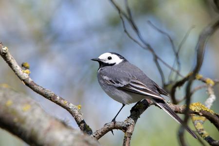 motacilla: Lavandera blanca Motacilla alba es una peque�a ave paseriforme de la familia Lavandera Motacillidae que tambi�n incluye a los bisbitas y longclaws. Foto de archivo