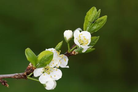 prunus: Plum is a fruit of the subgenus Prunus of the genus Prunus flowers in May. Stock Photo