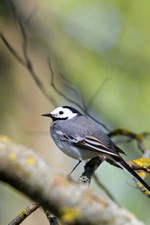 motacillidae: White wagtail Motacilla alba is a small passerine bird in the wagtail family Motacillidae which also includes the pipits and longclaws. Stock Photo
