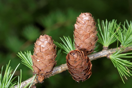 ovulate: Ovulate cones strobiles of larch tree spring end of May Stock Photo