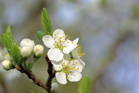 sepals: Plum is a fruit of the subgenus Prunus of the genus Prunus flowers in May. Stock Photo