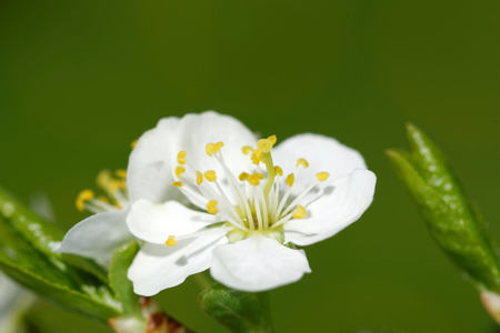 Plum is a fruit of the subgenus Prunus of the genus Prunus flowers in May. Stock Photo