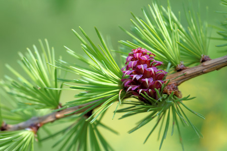larch tree: Ovulate cone strobilus of larch tree spring end of May