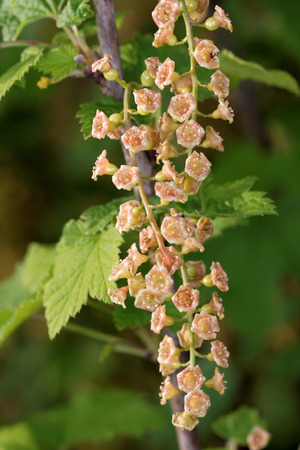 sepal: Flowers of red currant in the end of May. Stock Photo