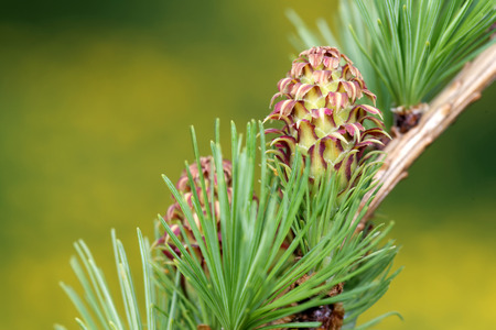 ovulate: Ovulate cone strobilus of larch tree spring end of May