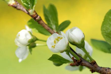 anther: Plum is a fruit of the subgenus Prunus of the genus Prunus flowers in May. Stock Photo