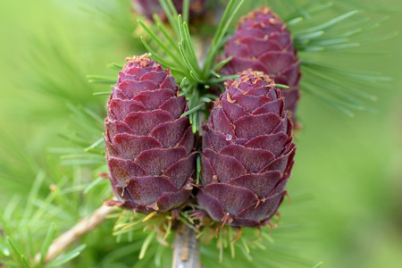 larch tree: Ovulate cones (strobiles) of larch tree, summer, beginning of June
