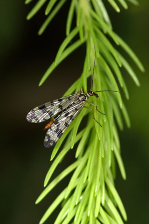 communis: Common scorpionfly (Panorpa communis) is a species of scorpionfly native to Western Europe.