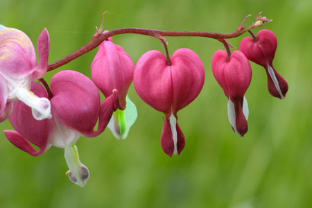 herbaceous plant: Flowers of bleeding-heart (Dicentra), herbaceous plant with oddly shaped flowers and finely divided leaves
