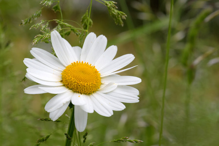 Oxeye daisy (Leucanthemum vulgare) flowers in green grass