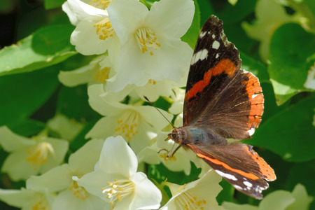 admiral: Red Admiral (Vanessa atalanta) on a flower of Philadelphus (mock-orange) Stock Photo