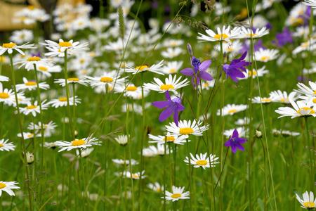 leucanthemum: Oxeye daisy (Leucanthemum vulgare) flowers in green grass