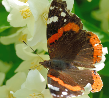Red Admiral (Vanessa atalanta) on a flower of Philadelphus (mock-orange) Stock Photo