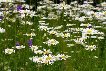 oxeye: Oxeye daisy (Leucanthemum vulgare) flowers in green grass