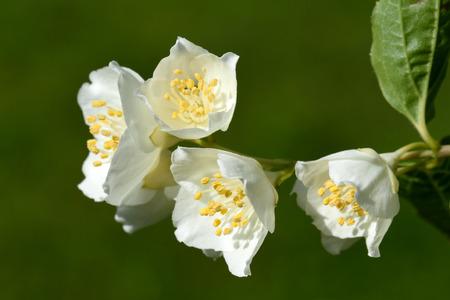 odorous: White and odorous flowers of blooming Philadelphus Stock Photo