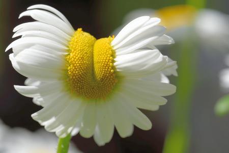 leucanthemum: Oxeye daisy (Leucanthemum vulgare) aberrant flower in green grass