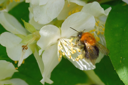 philadelphus: Bumblebee on a flower of Philadelphus (mock-orange)