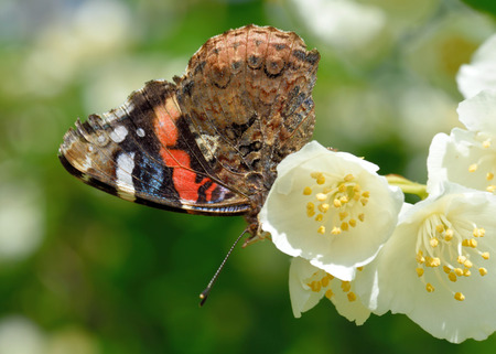 philadelphus: Red Admiral (Vanessa atalanta) on a flower of Philadelphus (mock-orange) Stock Photo