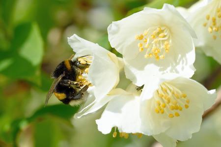 bombus: Bumblebee on a flower of Philadelphus (mock-orange)