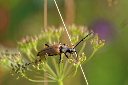 'compound eye': Longhorned beetle (Corymbia rubra) climbing in grass Stock Photo