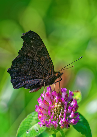gonepteryx rhamni: Peacock butterfly (Inachis io) feeding on a flower of clover