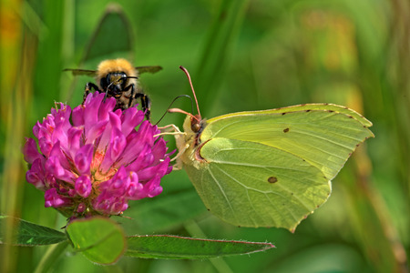 gonepteryx rhamni: Common brimstone butterfly (Gonepteryx rhamni) and bumblebee feeding on a flower of cloverr Stock Photo