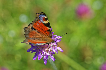 inachis: Peacock butterfly (Inachis io) feeding on a flower of ield scabious (Knautia arvensis) Stock Photo