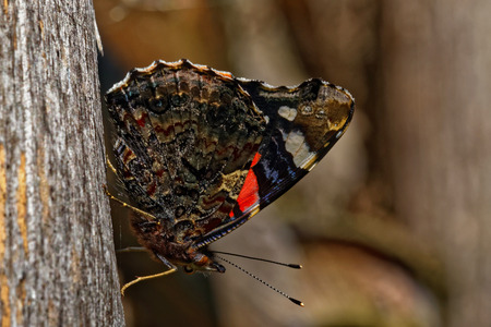 admiral: Red Admiral (Vanessa atalanta) on old wood