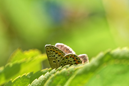 'compound eye': Gossamer-winged butterfly hiding behind green leaves Stock Photo