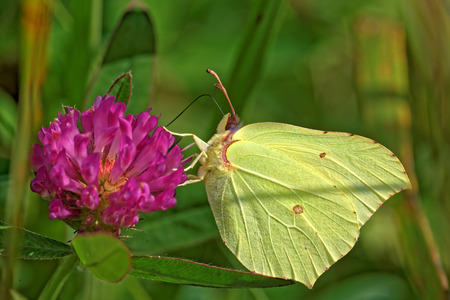 gonepteryx rhamni: Common brimstone butterfly (Gonepteryx rhamni) feeding on a flower of clover Stock Photo