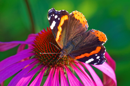 vanessa: Red Admiral (Vanessa atalanta) feeding on a Rudbeckia flower Stock Photo
