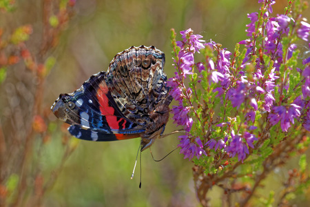 admiral: Red admiral (Vanessa atalanta) feeding on heather