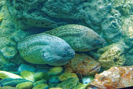scorpionfish: Murena (Muraena helena) and largescaled scorpionfish (Scorpaena scrofa) Stock Photo