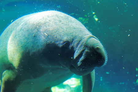 west indian: West Indian manatee (Trichechus manatus) or sea cow.