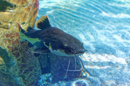 redtail: Redtail catfish, Phractocephalus hemioliopterus, is a pimelodid (long-whiskered) catfish. Stock Photo