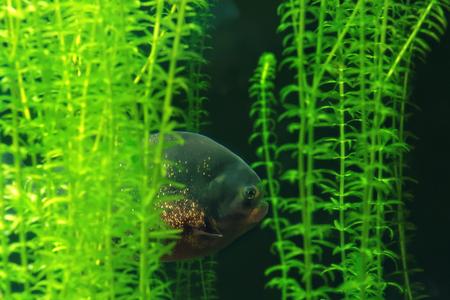 pygocentrus: Red piranha (Pygocentrus nattereri) is a species of piranha native to South America. Stock Photo