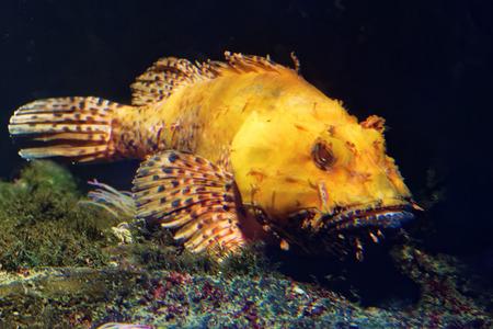 scorpionfish: Scorpaena scrofa, common name the red scorpionfish, Bigscale scorpionfish, or large-scaled scorpion fish is a venomous marine species of fish in the family Scorpaenidae, the scorpionfish. Stock Photo
