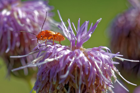 'compound eye': Soldier beetle (Cantharis livida) on thistle flowers Stock Photo