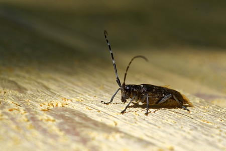 longhorned: Sawyer beetle (Monochamus galloprovincialis) on wooden surface