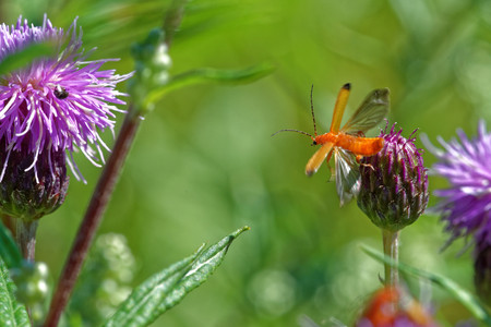 Soldier beetle (Cantharis livida) takeoff from thistle flower