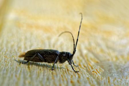 'compound eye': Sawyer beetle (Monochamus galloprovincialis) on wooden surface