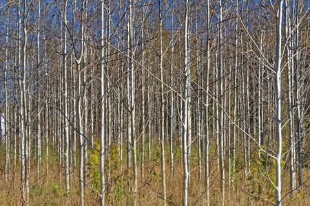 Ten-years-old growing aspen wood in October.