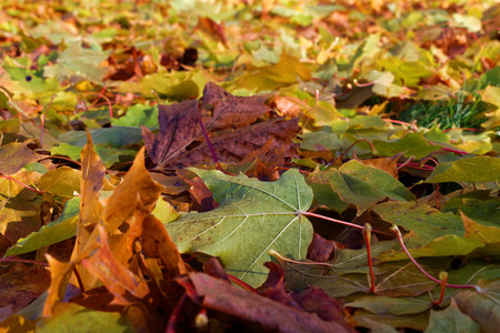Colorful maple leaves fallen to ground in October. Stock Photo