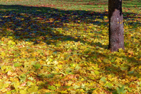 Colorful maple leaves fallen to ground under maple trees in October.