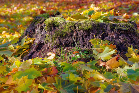 Colorful maple leaves fallen onto an old stump in October.