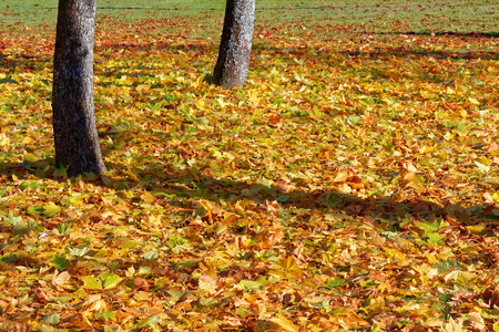 acer platanoides: Colorful maple leaves fallen to ground under maple trees in October.