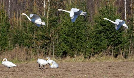 feeding through: Whooper swans Cygnus cygnus feeding and having rest during their transmigration through Estonia. Stock Photo