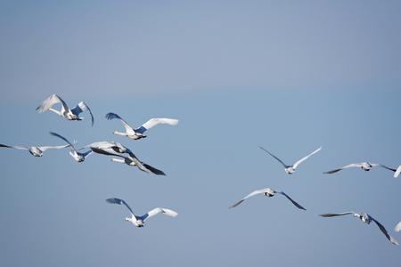 Whooper swans Cygnus cygnus flying during their transmigration through Estonia.